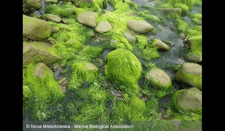 algae covered boulders in porth neigw l- copyright nova mieszkowska