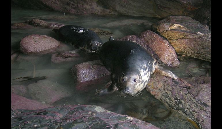 Grey Seals on rocks in a cave