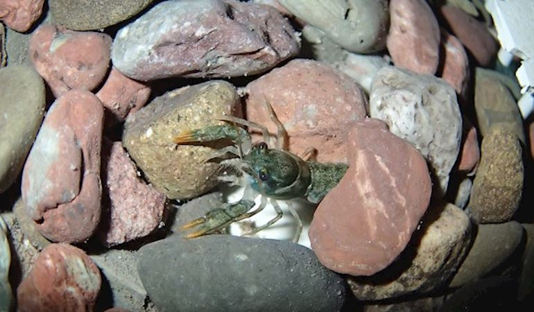 Crayfish under some stones