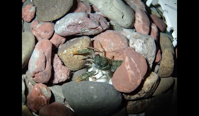 Crayfish under some stones