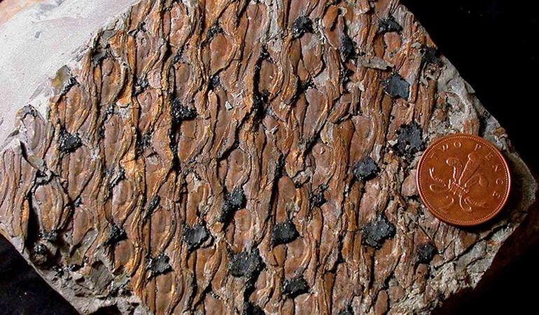 Fossilised bark from Brymbo - Copyright Peter Appleton