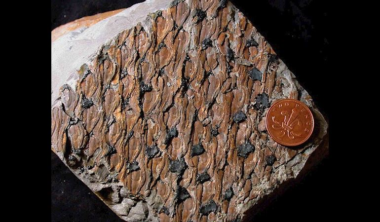 Fossilised bark from Brymbo - Copyright Peter Appleton
