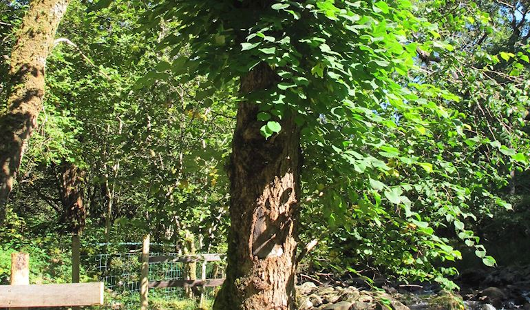 wych elm tree that is a host to a colony of the lichen