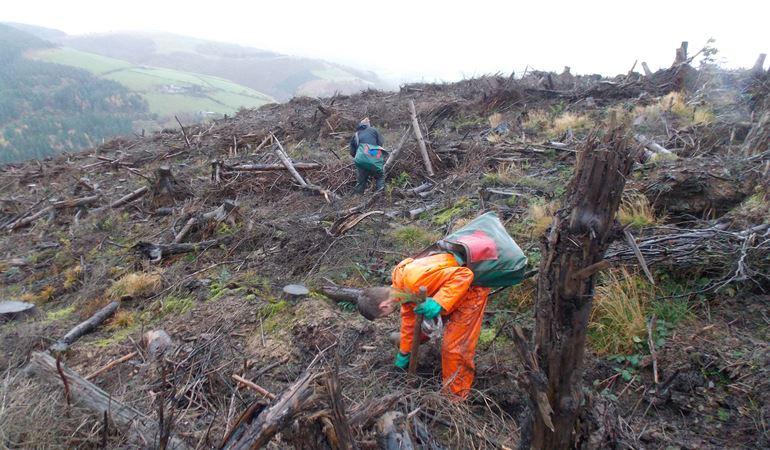 Man replanting trees on a hillside