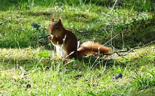 A red squirrel at Llyn Parc Mawr