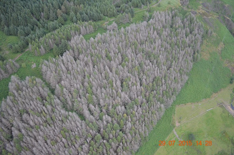 phytophthora ramorum aerial 1 - Dead larch trees due to Phytophthora showing in forest canopy © NRW Sam Milner