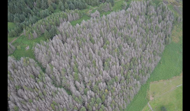 Aerial view of trees affected by Phytophthora