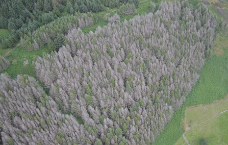 aerial view of trees infected with P. Ramorum