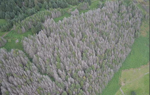 Aerial view of tree infected with P. Ramorum