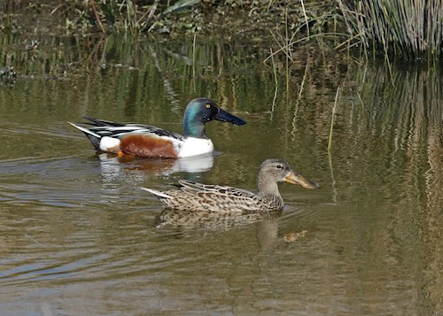 Welsh shovelers