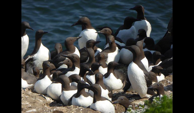 Group of Guillemots together