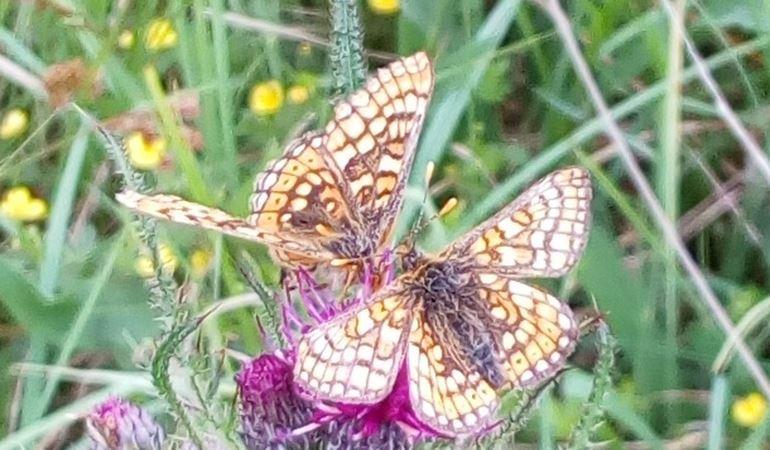 Butterflies sat on a purple flower