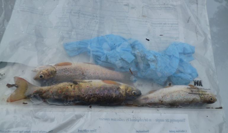 3 dead fish in a sample bag following a pollution incident