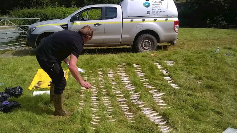 rows of dead fish laid on the grass after pollution incident, person counting the fish. NRW van in the background