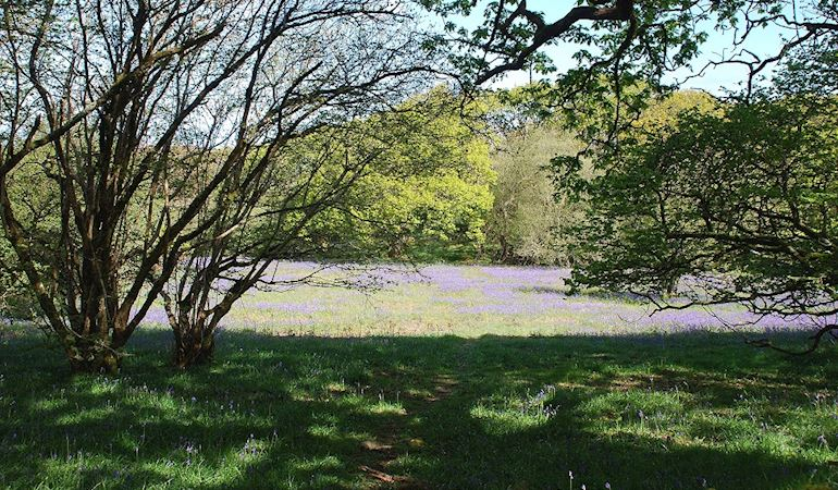 a field of bluebells surrounded by trees
