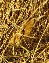 A bittern at Newport Wetlands