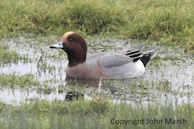 A wigeon at Newport Wetlands