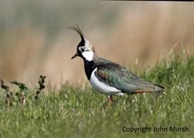 A lapwing at Naewport Wetlands