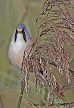 A bearded tit at Newport Wetlands