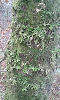 Loberia pulmonaria on Oak tree in Coedydd Aber