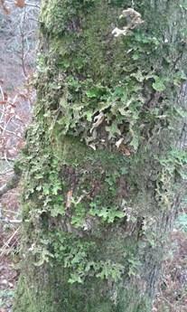 Loberia pulmoneria on Oak tree in Coedydd Aber