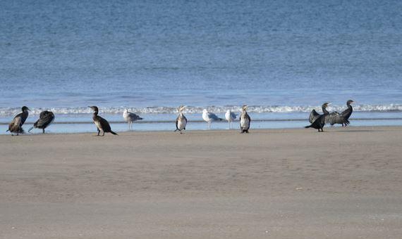 Birds on the beach at Cefni Estuary and Pen Cob