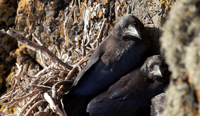 Raven chicks on nest, Llanddwyn island, Newborough during the summer