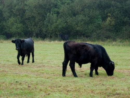 cattle grazing on grasslands