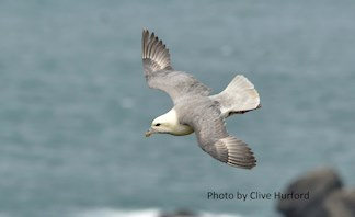 Fulmar - photo by Clive Hurford