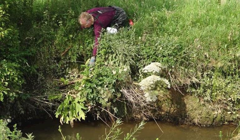 Adrian Moore inspecting the Giant Hogweed in the Afon Soch