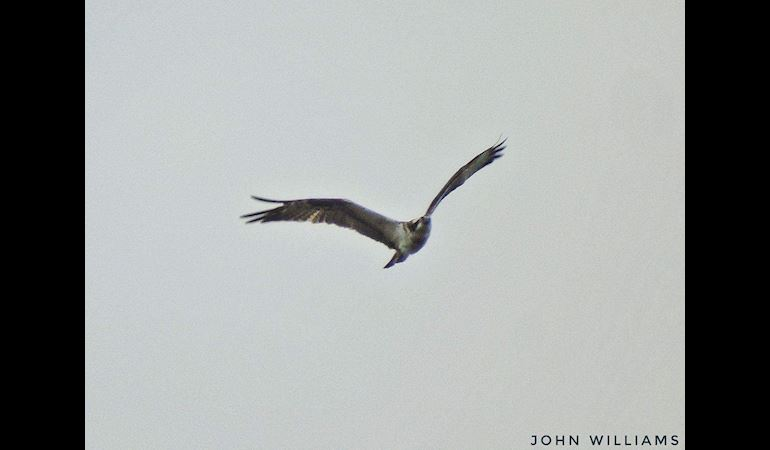 View of an Osprey in flight - copyright John Williams