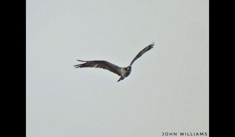View of an Osprey in flight - copyright John Williams