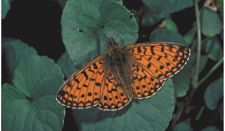 Image of a copper butterfly at Newborough