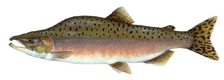 salmon pinc hen oed