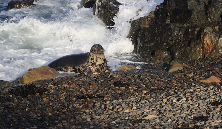 Seal on a shore at Skomer