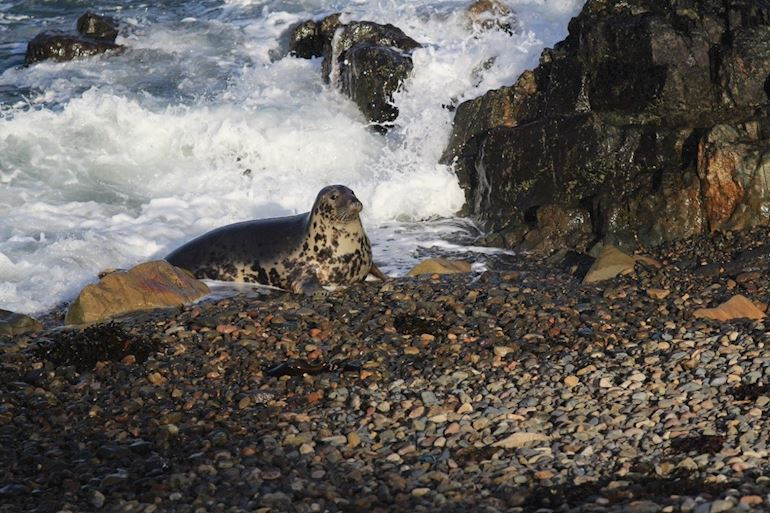 Seal on a shore at Skomer