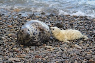 Seal and pup at Skomer