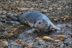 Young seal at Skomer
