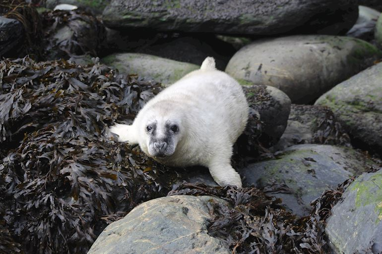 white-coated grey seal pup on the rocks