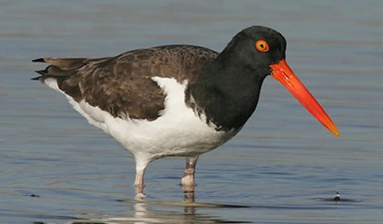 Oystercatcher in the sea