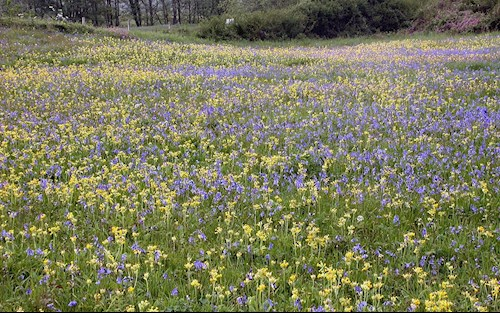 Bluebells at the Oxwich National Nature Reserve