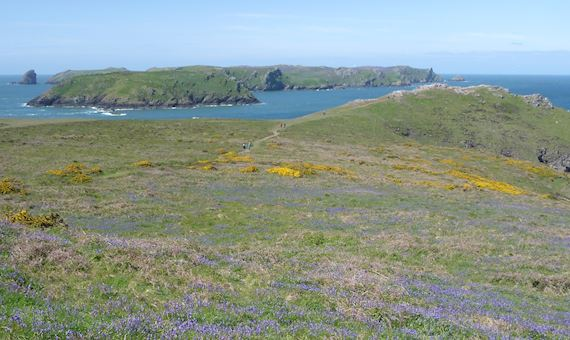 Bluebells at Skomer