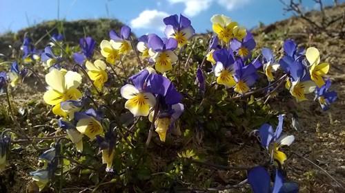 Merthyr Mawr - violets