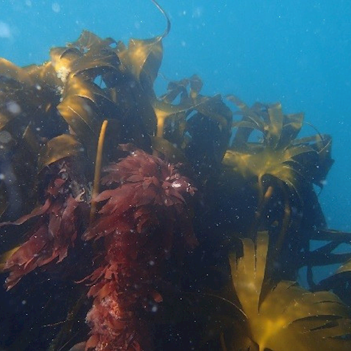Forest kelp