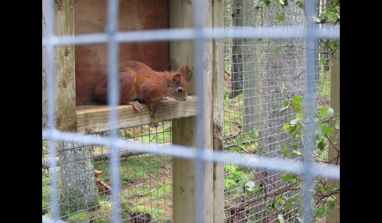 A red squirrel in an enclosed area