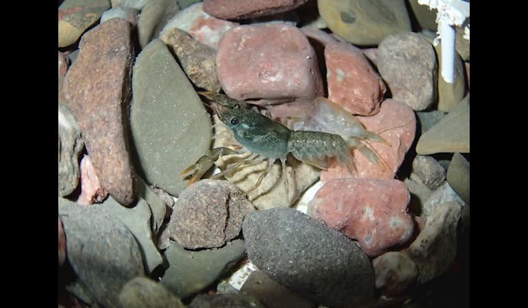 Crayfish on some rocks
