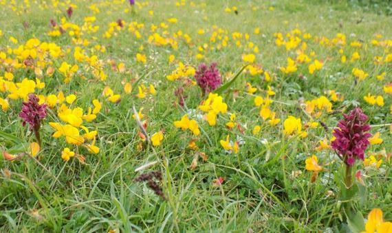 Orchids Ynyslas