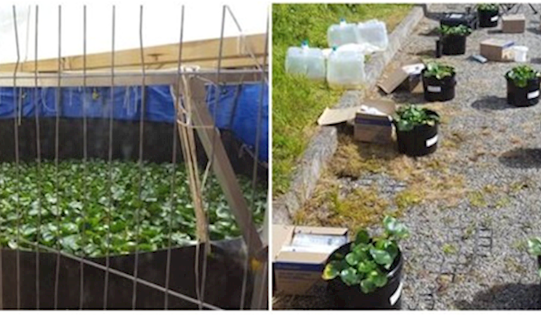 Photographs showing water hyacinth plant containment pond (left image) and bench-scale study experiment layout (right image).