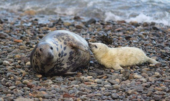 Seals on a pebble beach