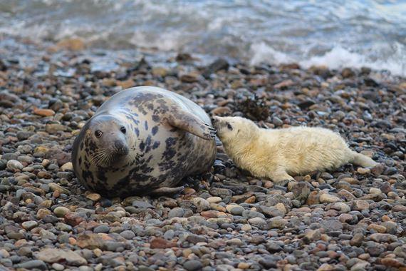 Seals on a pebble beach